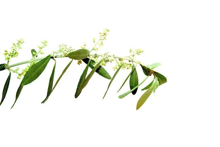 Olive Indications Et Utilisation De Olive En Fleurs De Bach
