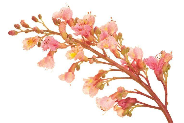 Red Chestnut Indications Et Utilisation De Red Chestnut En Fleurs