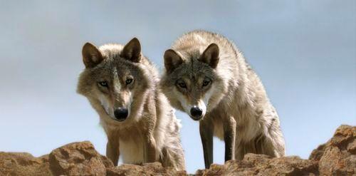 rêver de loup article