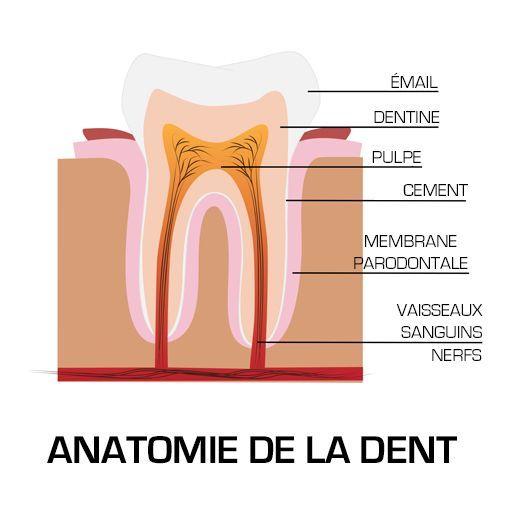 schema-de-la-dent