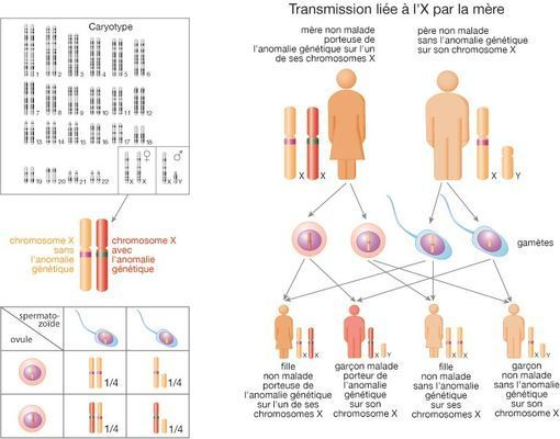 transmission-chromosome-X