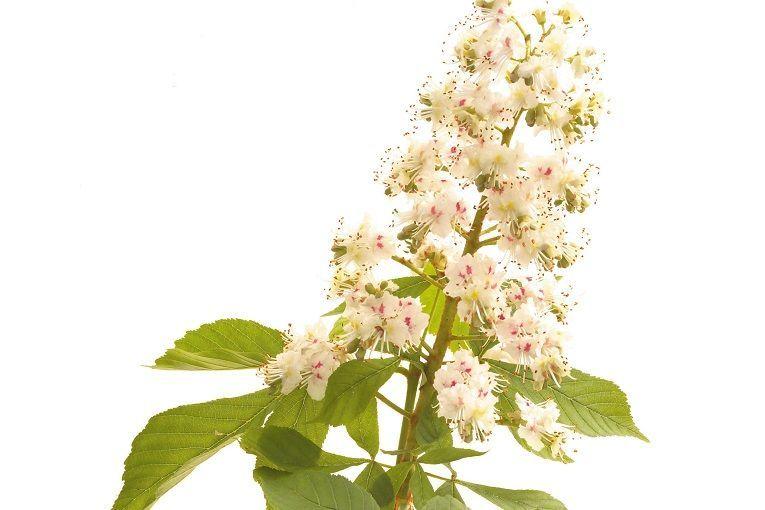 White Chestnut Indications Et Utilisation De White Chestnut En