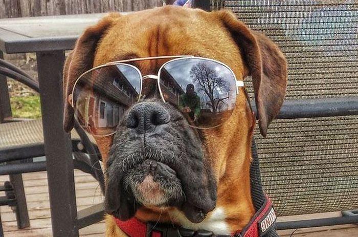b909a34b2a598 Le top 5 des chiens les plus stylés avec leurs lunettes de soleil ...