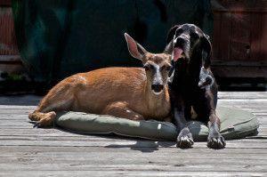 amities-insolites-entre-nos-amis-les-animauxf