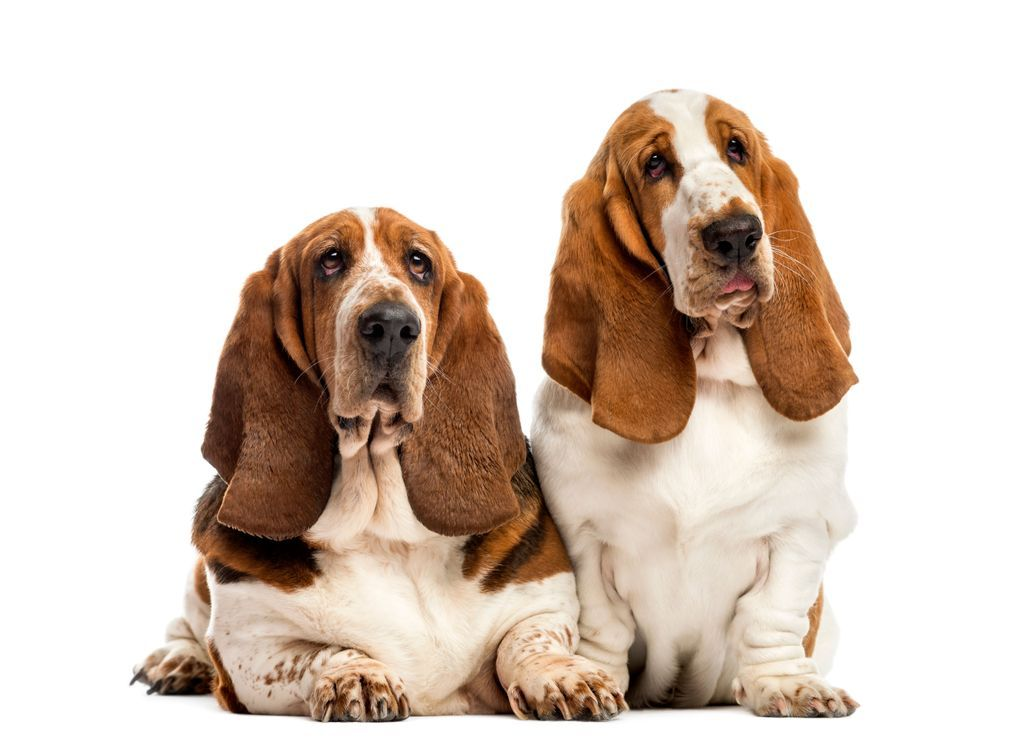 Two Basset Hounds in front of a white background