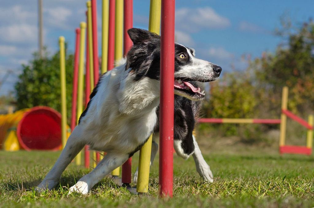 chien_agility