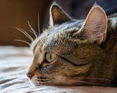 Infection urinaire du chat