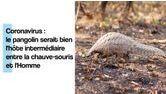 Coronavirus : le pangolin serait bien l'hôte intermédiaire entre la chauve-souris et l'Homme