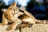 Démangeaisons et chute des poils chez le chat