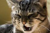 Toux et éternuements chez le chat : causes et traitements