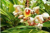 Huile essentielle de gingembre papillon