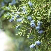 huile-essentielle-de-cypres-bleu_medium