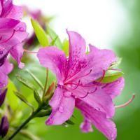 huile-essentielle-de-rhododendron1_medium