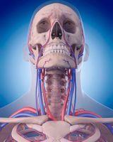 schéma anatomique artères du cou