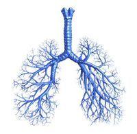 schéma anatomique des bronches