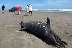 La France veut lutter contre les échouages de dauphins