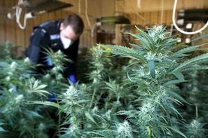 Le cannabis efficace contre le cancer ?
