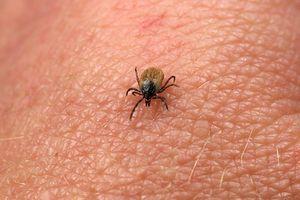 Maladie de Lyme : pas d'efficacité pour une pommade antibiotique