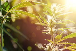 Un médicament à base de cannabis autorisé en Europe