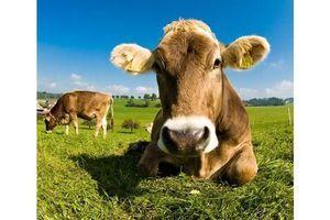 Bruxelles autorise le traitement de viande bovine à l'acide lactique