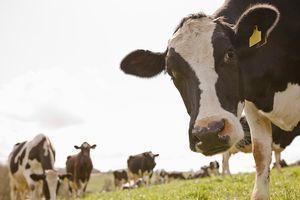 Irlande : après les porcs, les boeufs contaminés ?