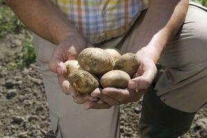 La pomme de terre Amflora ne présente pas de risques selon le HCB