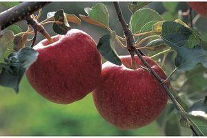 Les pommes modifiées par le réchauffement climatique