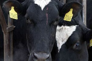 """Un cas atypique de """"maladie de la vache folle"""" en Pologne"""