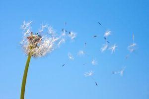Allergie aux pollens : jusqu'à 30% des adultes seraient touchés