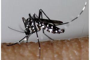 Chikungunya : le moustique tigre menace la métropole