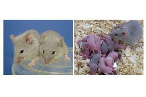 Des ovocytes et du sperme créés à partir de cellules souches