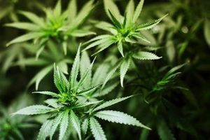 L'efficacité du cannabis médical remise en cause
