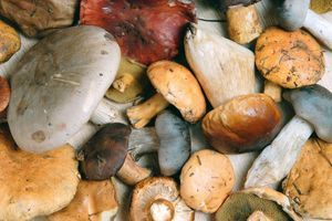 Les intoxications graves par des champignons en forte hausse