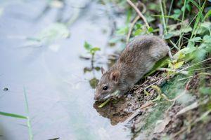 Trois cas de leptospirose en Haute-Saône