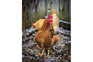 Un nouveau virus de la grippe aviaire en Europe