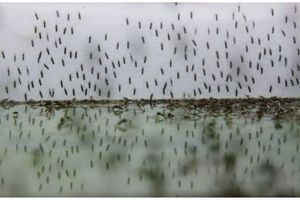 Zika : l'OMS appelle l'Europe à se prémunir contre le moustique
