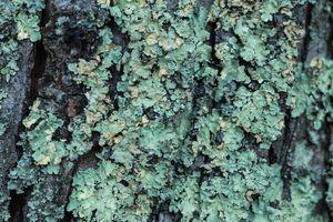 Le lichen, un Viagra® naturel ? Les experts mettent en garde
