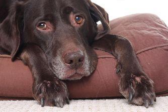 Comment calculer l'âge humain de son chien ?