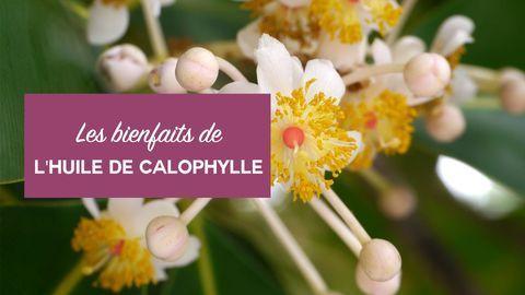 bienfaits huile de calophylle