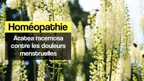 Actaea racemosa homeopathie