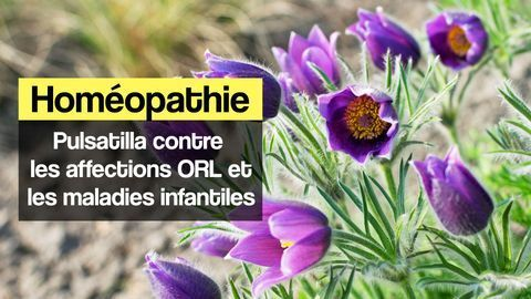 pulsatilla homeopathie