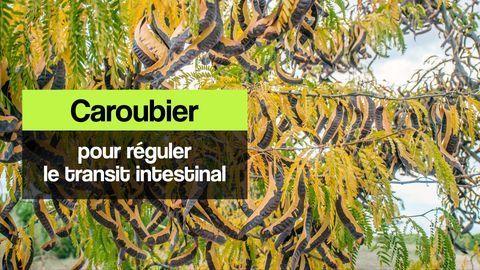 caroubier transit intestinal