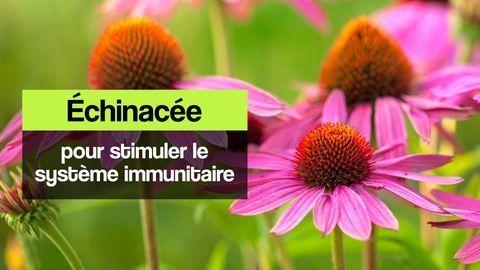 echinacee systeme immunitaire