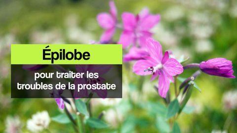 épilobe prostate