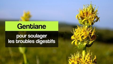 gentiane troubles digestifs