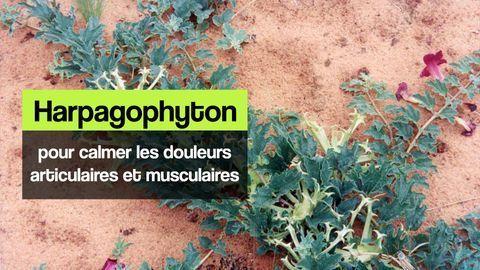 harpagophyton