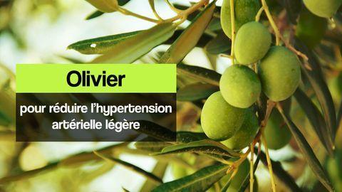 olivier phytothérapie