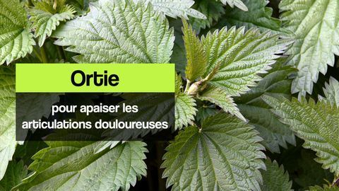 ortie articulations douloureuses