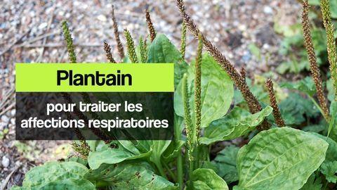 plantain bienfaits