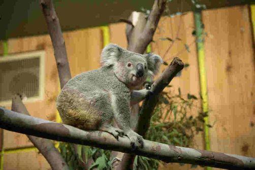 Feux en Australie : pétition pour introduire le koala en Nouvelle-Zélande